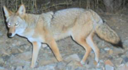 coyote_nps3